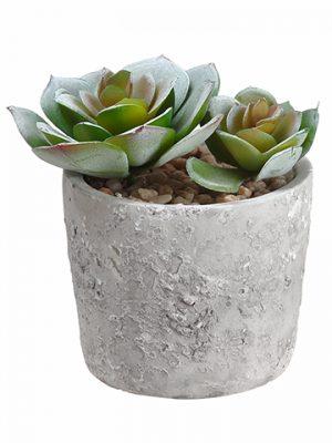 """4"""" Echeveria in Cement Pot Green"""