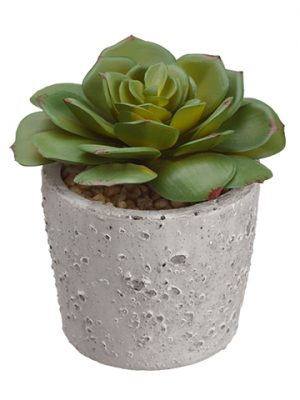 """4.25"""" Echeveria in Cement Pot Green"""