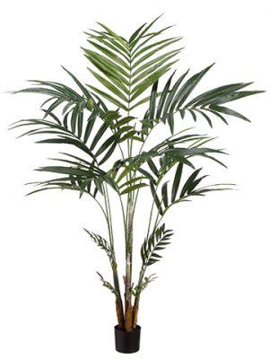 6' Kentia Palm in Pot(knock-Down)Green