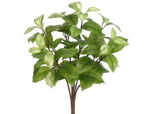 "15"" Hoya BusH x 6 Green Cream"