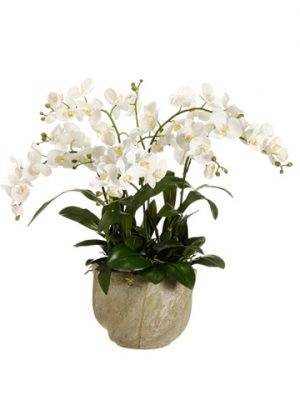 "30""H x 29""W x 29""L Phalaenopsis Orchid in Star Pot White"