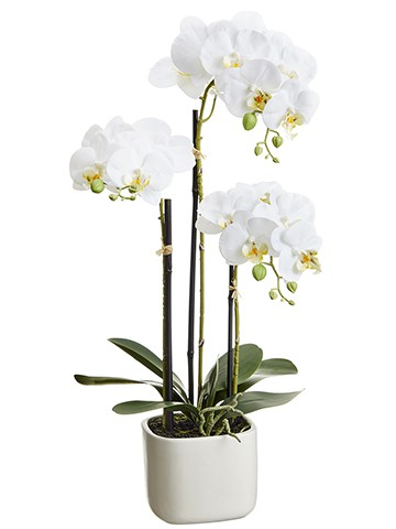 "25"" Phalaenopsis Orchid Plant x3 in Terra Cotta Pot White"