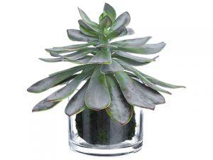 "10"" Echeveria in Glass Vase Gray Burgundy"
