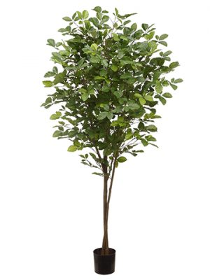 6' Hornbeam Tree With 1450 Leaves in Plastic Nursery Pot Green