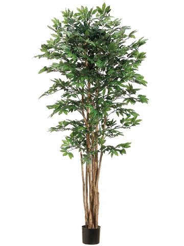 6' Pacific Lychee Tree w/2088 Leaves in Plastic Pot Green