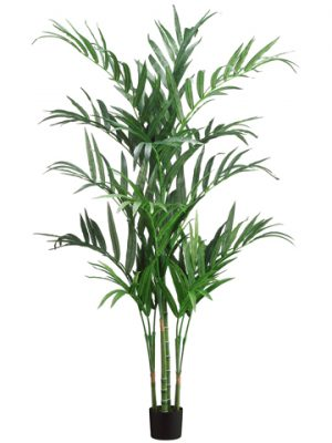 6' Kentia Palm Tree in Pot Green