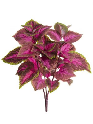 "19"" Large Leaf Coleus Bush x3 Fuchsia Green"