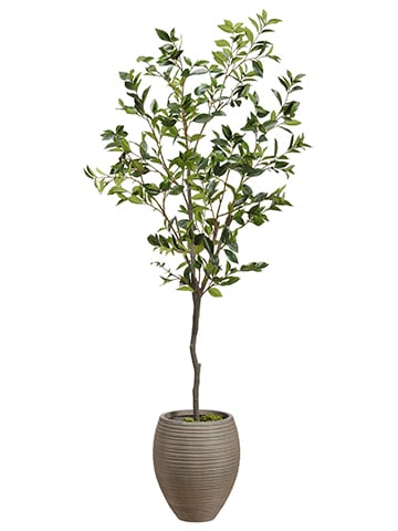 6' Laurel Tree in Fiber ClayPlanterGreen