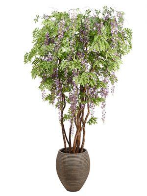 9' Wisteria in Clay Planter Lavender