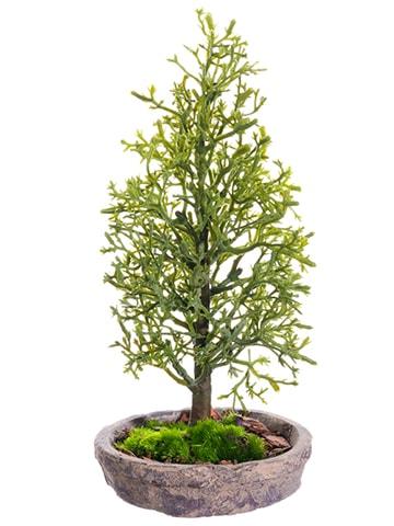 "7"" Cedar Tree in Clay Plate Green"